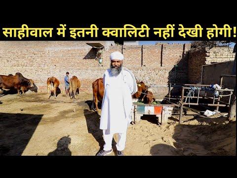 सबसे ज्यादा शानदार साहिवाल गाय का फार्म|Top Quality Sahiwal cow Dairy farm by GURMUKH