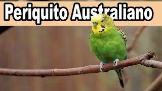 Periquito Australiano Melopsittacus Undulatus