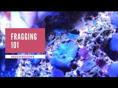Mushroom (discosoma) Fragging 101