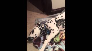 Cute Dalmatian puppy wants to wrap himself in his blanket