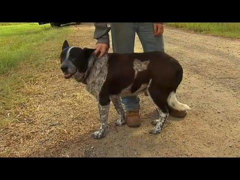 كلب أصم ونصف أعمى ينقذ طفلة بأدغال أستراليا  - نشر قبل 16 دقيقة
