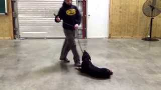 "Rottweiler ""zavier"" Obedience Protection Trained Watch Dog For Sale"