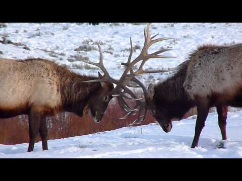 Bull elk Sparring in Yellowstone. 角突きあうエルク イエローストーン国立公園
