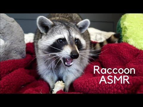 The Ace & TJ Show - ASMR With a Raccoon Eating a Banana!