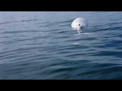 Great White Shark eats Minke Whale