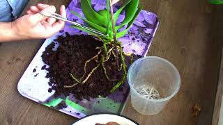чтобы НЕ ПОГИБЛА ОРХИДЕЯ - ВТОРОЙ ШАГ после покупки уцененной орхидеи