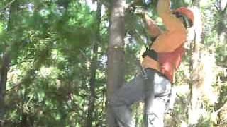 Poda mecanizada de plantación forestal de Pinus radiata en Constitución. Región del Maule