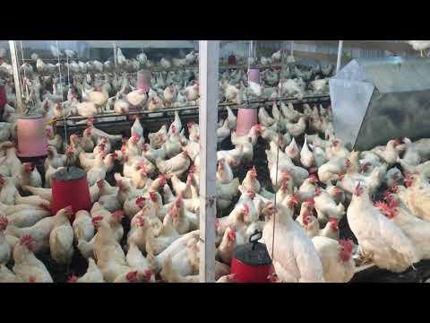 Yaşlanmış Tavuklar Ne Yapılır? Kümes Temizliği Ve Sohbet - Gezeyum