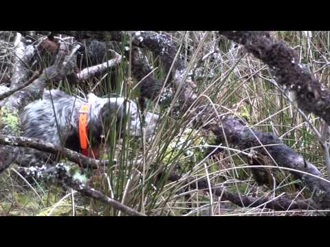 "Woodcock hunting complilation with english Setter ""della Serpentara"""