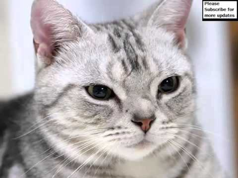 American Shorthair White | Set Of Cat Picture Collection