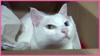 アマゾンから荷物が届くと、すかさず箱の中に入ってしまう白猫ユキちゃ...