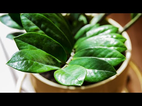 Размножение Замиокулькаса листовыми черенками