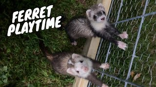Tito's New Ferret Friends! thumbnail