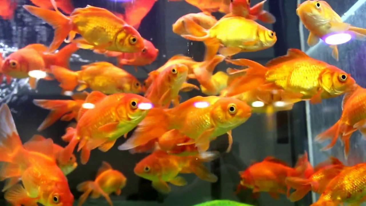 Beautiful Goldfish Aquarium Tank Youtube
