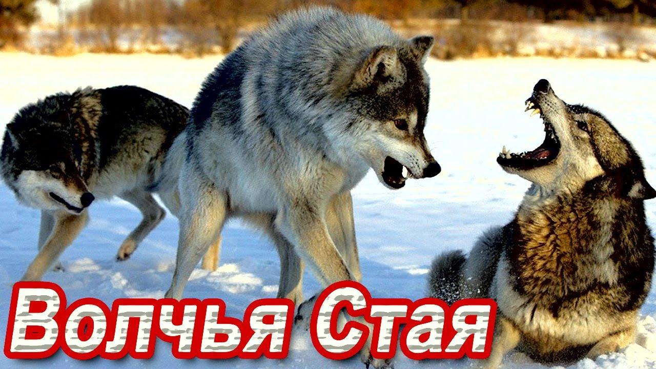 КЛАССНАЯ ПЕСНЯ! 🌟 Волчья Стая. ВЫ ТОЛЬКО ПОСЛУШАЙТЕ!