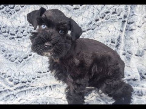 Miniature Schnauzer PUPPY IN TRAINING! Gretta at 11 weeks