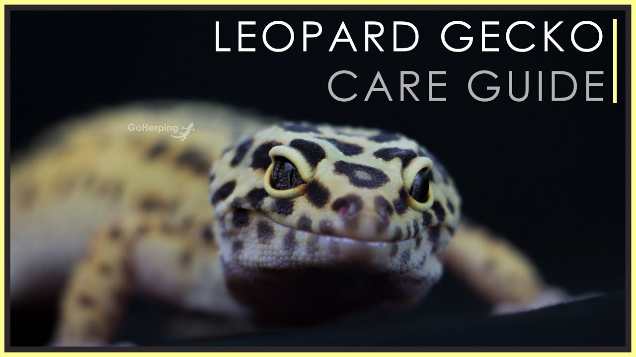 How Much Does A Leopard Gecko Cost? [Initial & Yearly Cost