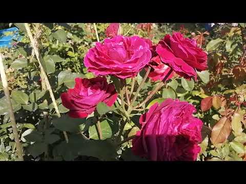 Фальстаф английская роза.