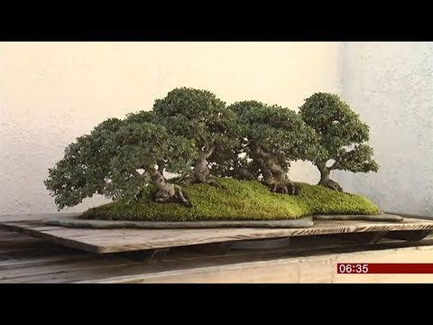 Couple plea for their bonzai trees to be returned (Japan) - BBC News - 12th February 2019 Mp3