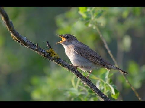 Пение птиц релакс