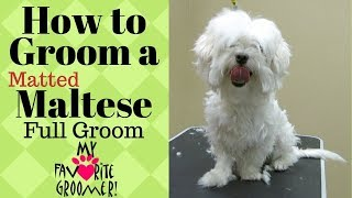 Grooming a Maltese Matted