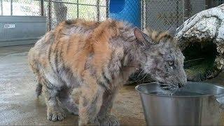 Невероятное преображение спасенной из цирка тигрицы