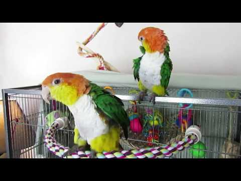 White Bellied Caique Pair