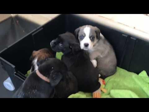 Boxer Labrador Mix Welpen Impressionen Hunde Babys Sechste Woche Boxer Lab Mix Puppies 6th Week