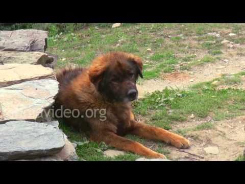 Village Dog, Didna