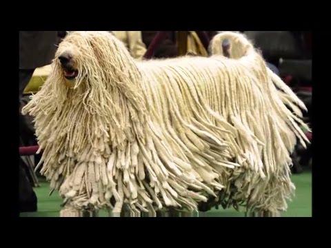 DOG BREEDS RASE LIST #J-K: JINDO DOG, KAI KEN DOG, JAPANESE CHIN DOG, KUVASZ DOG   DISCOVER