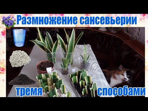 Размножение сансевьерии (сансевиера, сансивьерия, Sansevieria) тремя способами  в домашних условиях.