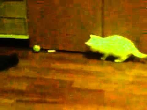 Кошки. Приколы. Маленький котенок играет.