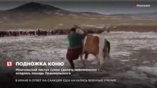 Монгольский пастух сумел сделать невозможное оседлать лошадь Прежевальского