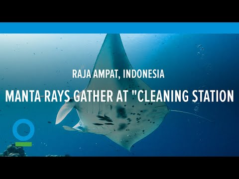 "Manta Rays Gather at ""Cleaning Station"" in Raja Ampat, Indonesia – Conservation International (CI)"