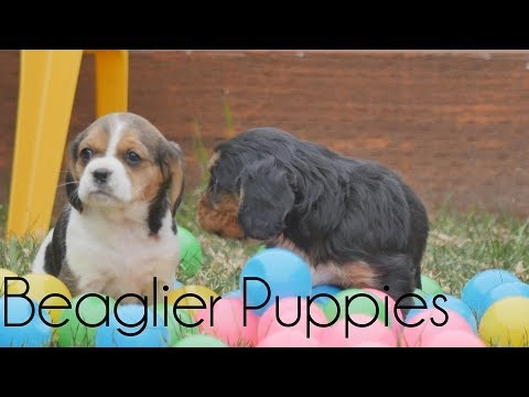 Beaglier puppies playing in the garden!!!