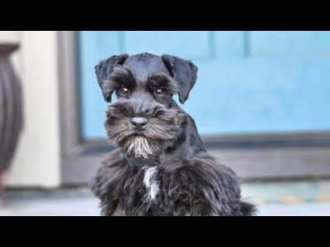 ADORABLE Schnauzer has an ADORABLE Personality - Stella in Training!