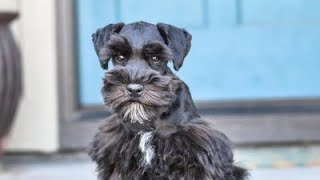 ADORABLE Schnauzer has an ADORABLE Personality  Stella in Training!