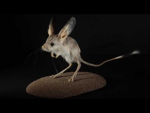 ¿Qué animal tiene las orejas más grandes?