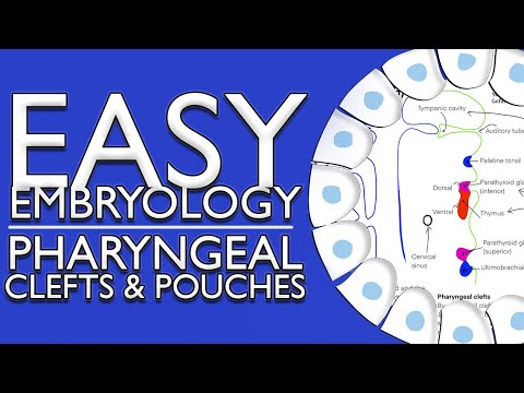 Embryology Of The Pharyngeal Pouches And Clefts (Easy To Understand)