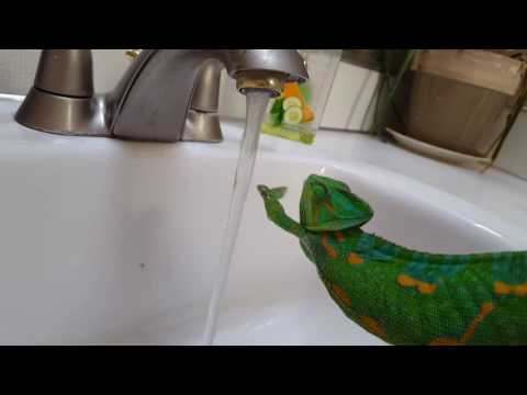 Cute chameleon trying to climb on water?