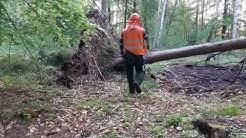 Praca w lesie/niebezpieczne odcinanie wywrota
