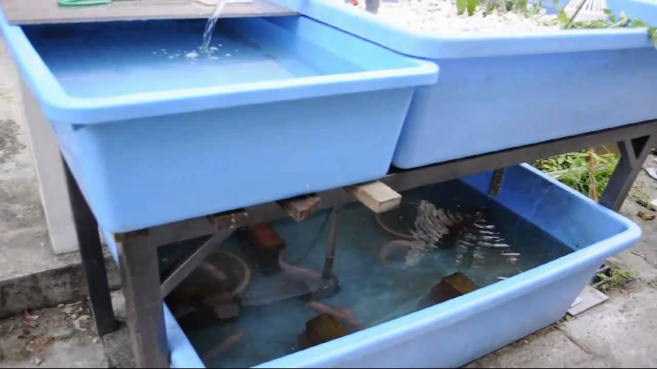 Affnan 39 s aquaponics home tilapia breeder set youtube for Tilapia aquaponics