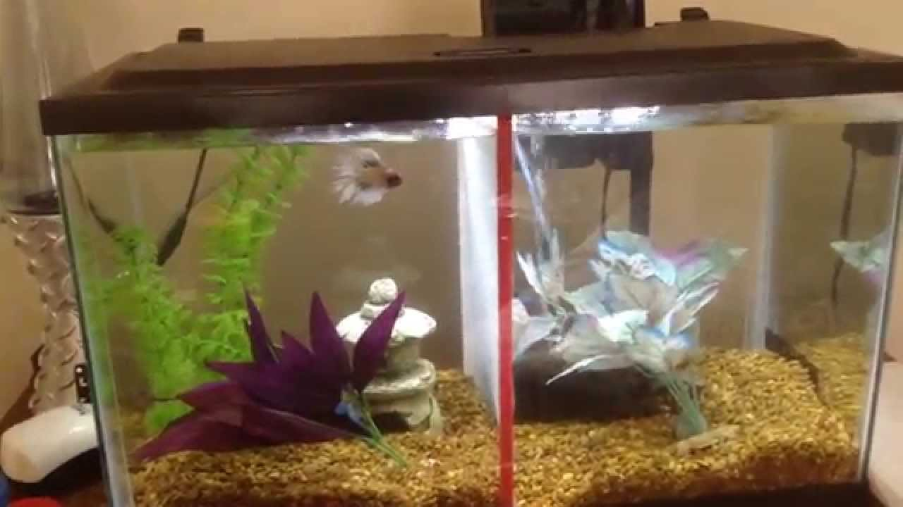 10 gallon betta fish tank youtube for Split fish tank