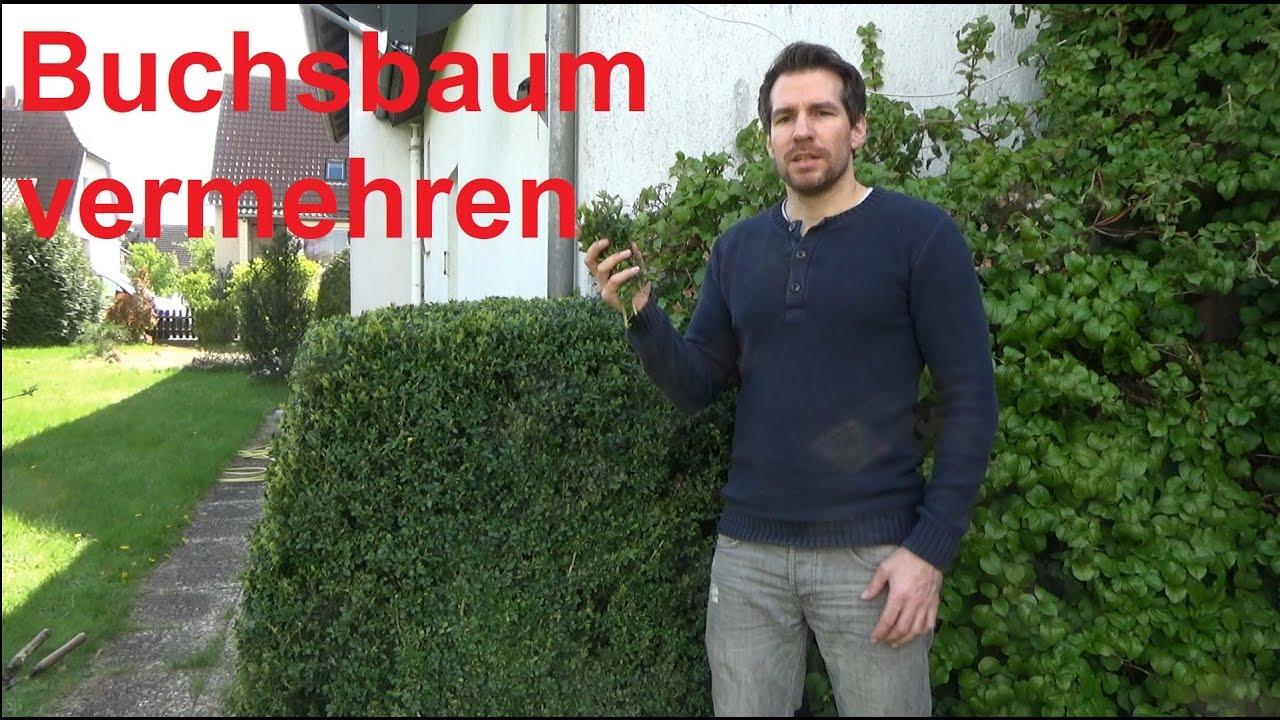 buchsbaum vermehren buxus ableger steckling selber ziehen youtube