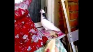 Прилетел белый голубь примета :: newvideoblog.