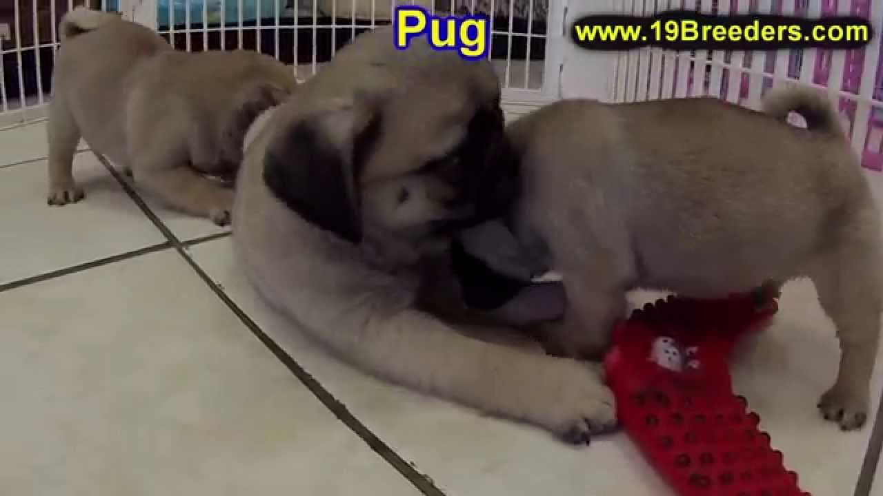 Pug Puppies Dogs For Sale In Tampa Florida Fl 19breeders