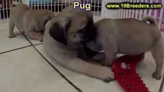 Pug, Puppies, For, Sale, In, Albuquerque, New Mexico, Nm, Gallup, Carlsbad, Alamogordo, Hobbs, Clovi