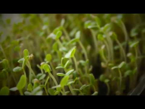 Planting sprouted sesame seeds | svavs