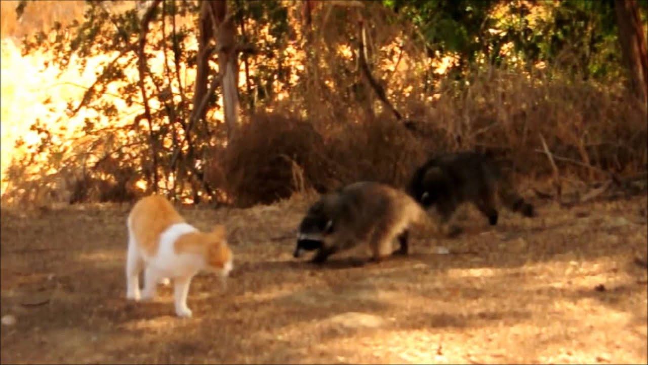 Raccoons drive feral cats away from their feeding stations - YouTube