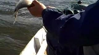 Першино 2011 на леща(, 2011-08-08T04:39:36.000Z)